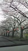 20090331uruigawa_sakura